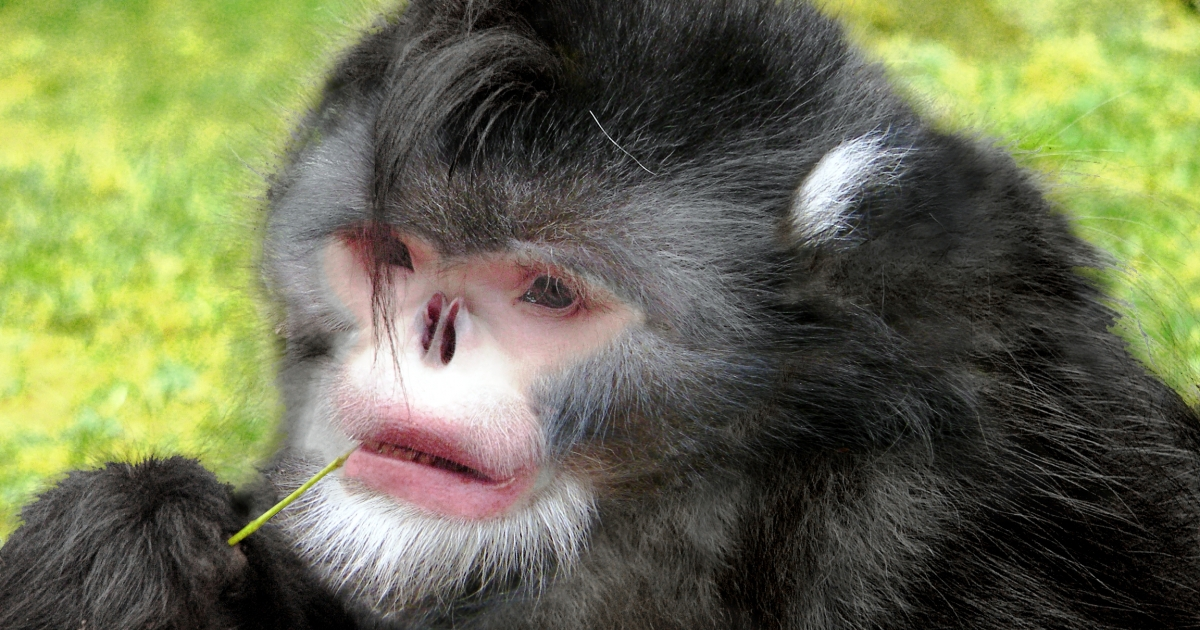 These monkeys, discovered in Myanmar's mountains, sneeze when it rains. They are believed to be critically endangered.</p>