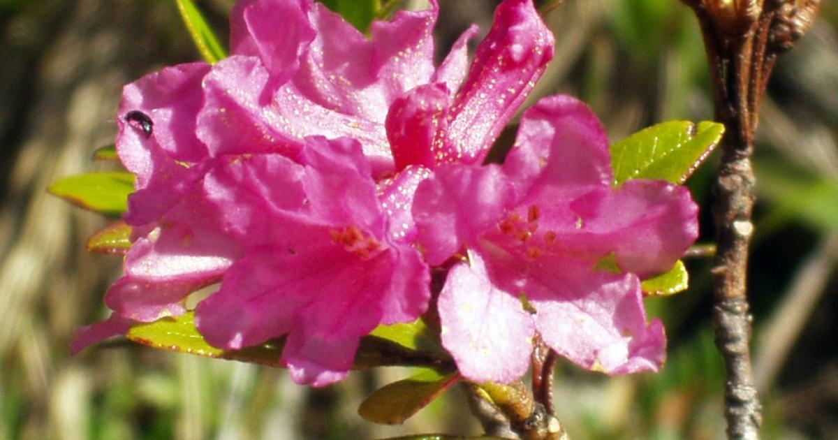 'Rhododendron ferrugineum growing on Hochgolling, Salzburger Land, Austria.</p>