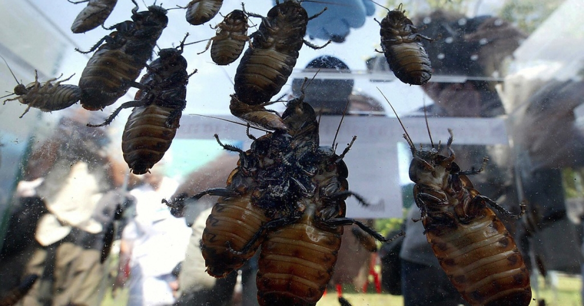 Edward Archbold, 32, vomited after downing more than 20 giant bugs during a