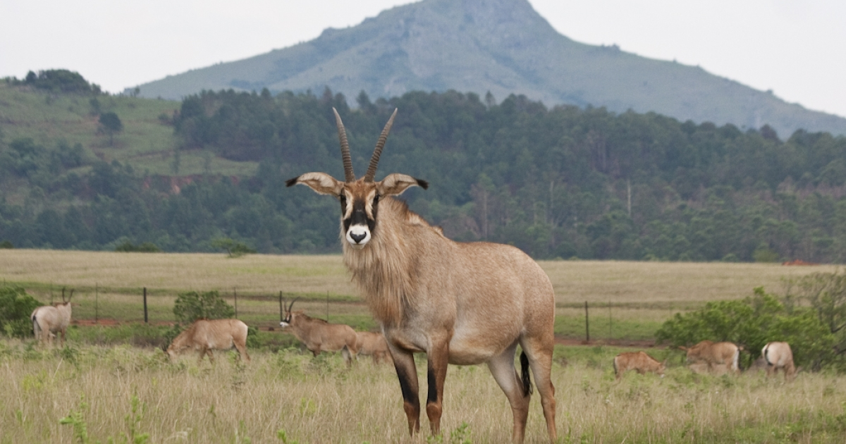 Roan antelope at the Mlilwane Wildlife Sanctuary in Swaziland.</p>