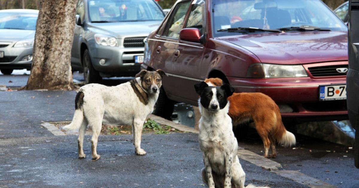 Packs of stray dogs roam Romania's capital, Bucharest, on Dec. 9, 2010.</p>