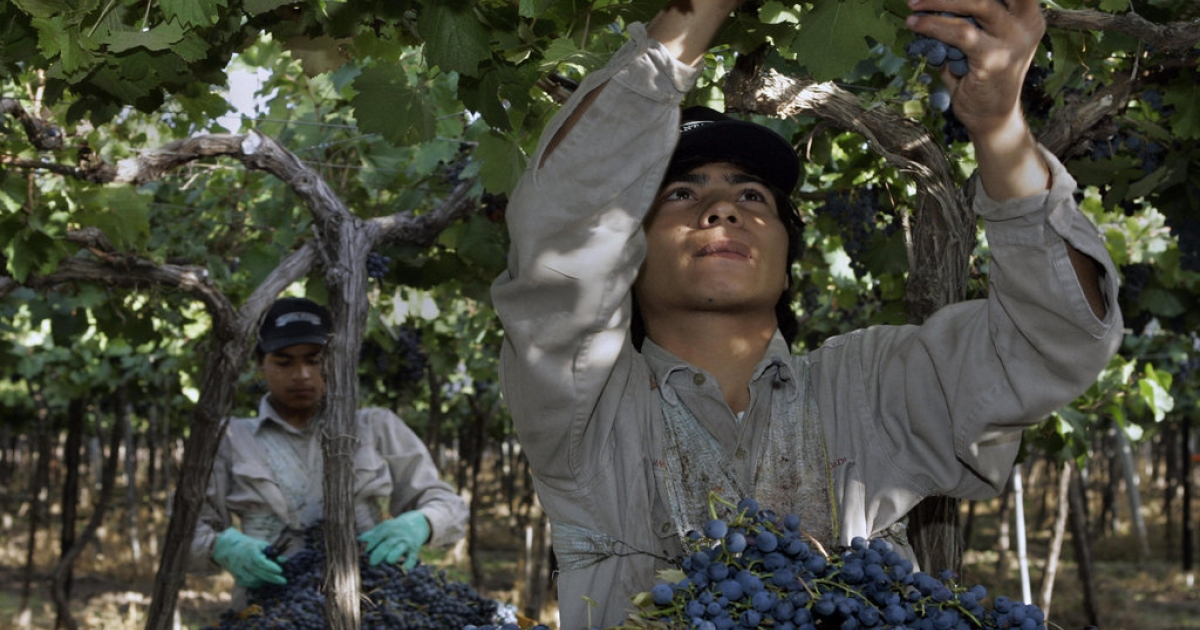 Gaston Rojas (R) and his brother Marcelo pick Malbec grapes at a vineyard in Mendoza, Argentina.</p>