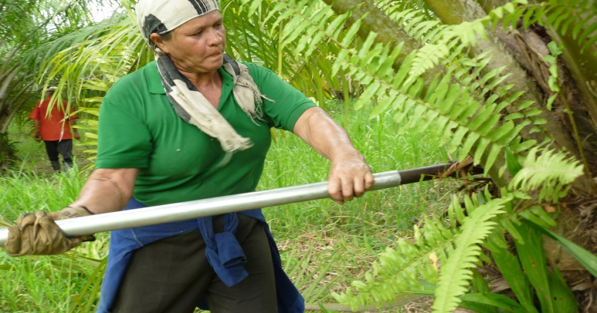 Flor Elba Sanchez cuts palm fruit off a tree near Puente Sogamoso. A co-op member, she says that palm oil companies insist that workers join co-ops and that those who refuse are refused jobs.</p>