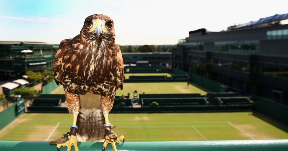 Rufus, Wimbledon's resident Harris Hawk keeps the courts pigeon free on Day Seven of the championships at the All England Lawn Tennis and Croquet Club on June 29, 2009 in London, England.</p>
