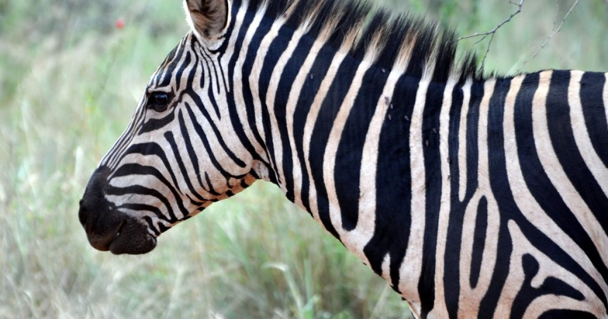 A zebra has bitten a zookeeper at the National Zoo near Washington DC. The incident spooked a gazelle, which accidentally ran into a wall and broke its neck.</p>