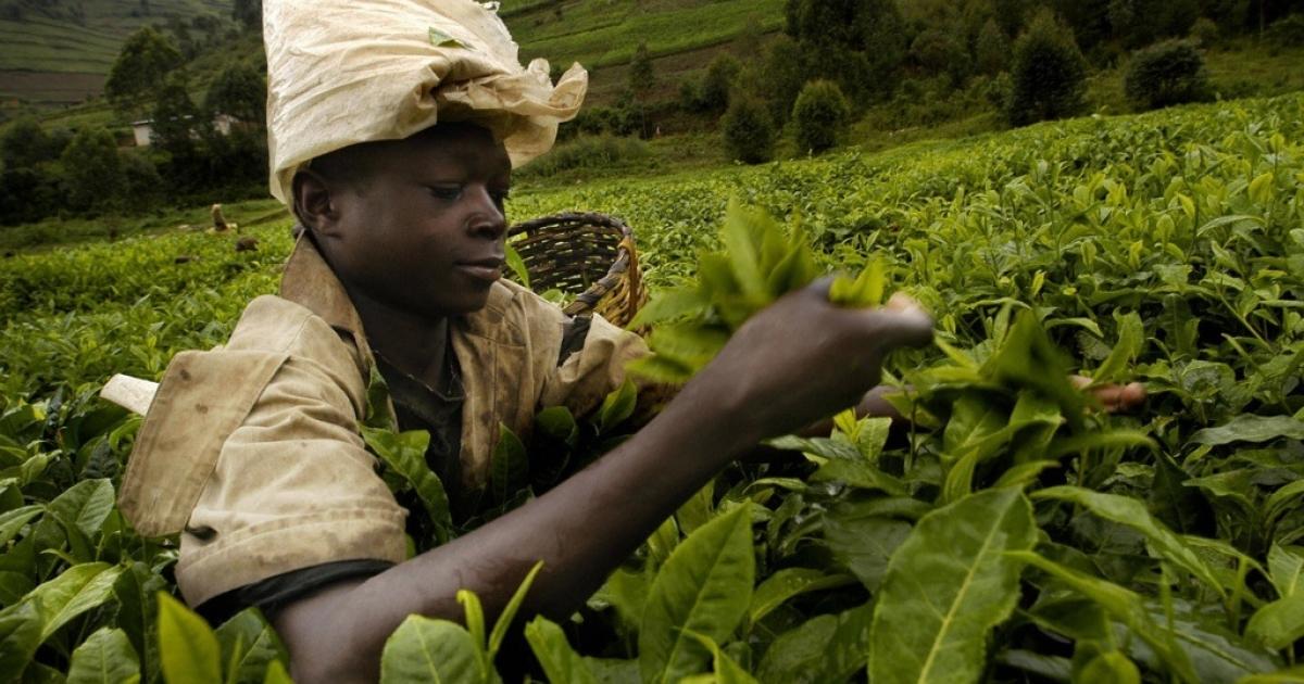 A Rwandan tea picker at the Mulindi tea plantation, in Byumba, Rwanda. Rwanda's economic growth is helping to reduce the numbers of poor, rural Rwandans.</p>