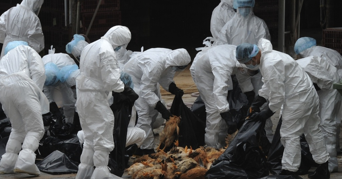 Workers place dead chickens into plastic bags after they were killed at a live chicken distribution centre in Hong Kong on December 21, 2011. Hong Kong culled 17,000 chickens and suspended live poulty imports for 21 days after three birds tested positive for the deadly H5N1 strain of bird flu virus.</p>