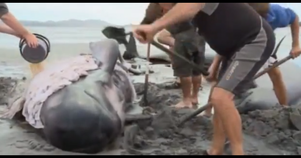 Volunteers help re-float the 40 beached whales in New Zealand.</p>