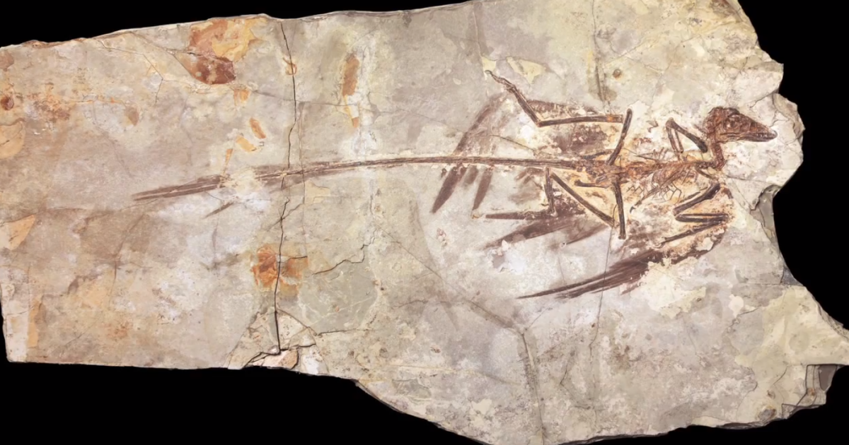 Screenshot of the Microraptor fossil taken from the website of the American Museum of Natural History.</p>