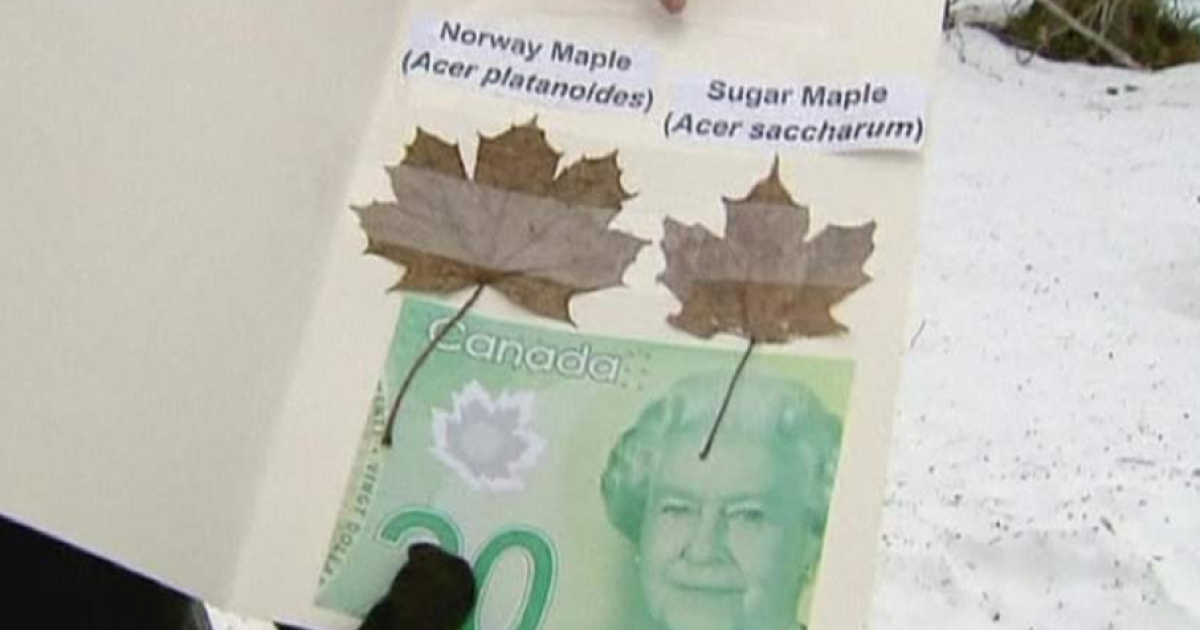 A new $20 note next to the Canadian and Norwegian maple leaves.</p>