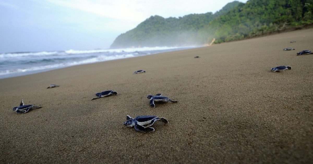 'Sea turtles' make their way back home across the ocean.</p>