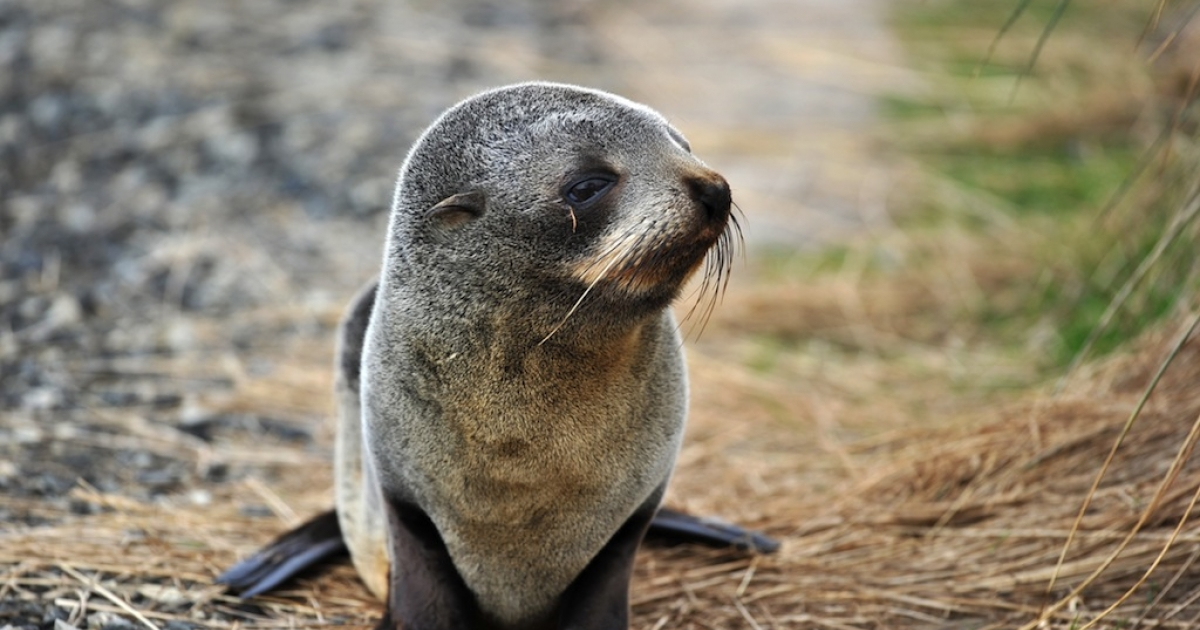 A baby fur seal walks along a beach on the Otago peninsula near Dunedin on September 7, 2011.</p>