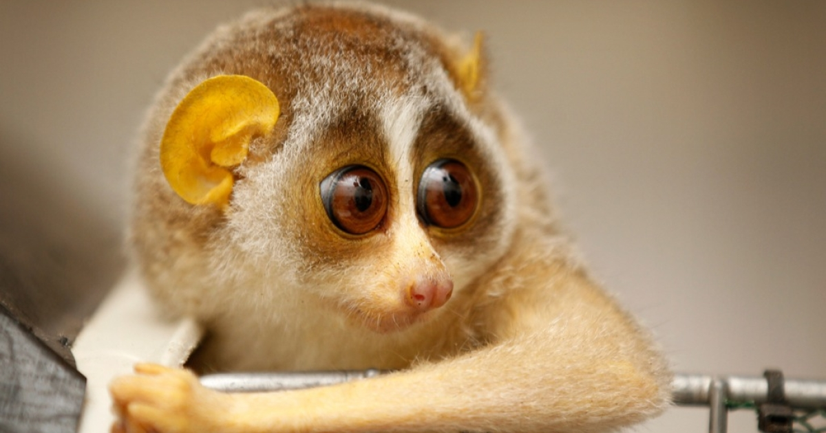 An eight-month-old slender loris is given it's first health check by the veterinary team at London Zoo on July 21, 2011 in London, England. Two female baby slender lorises, who are yet to be named, were given health checks, their sex determined and micro-chipped.</p>