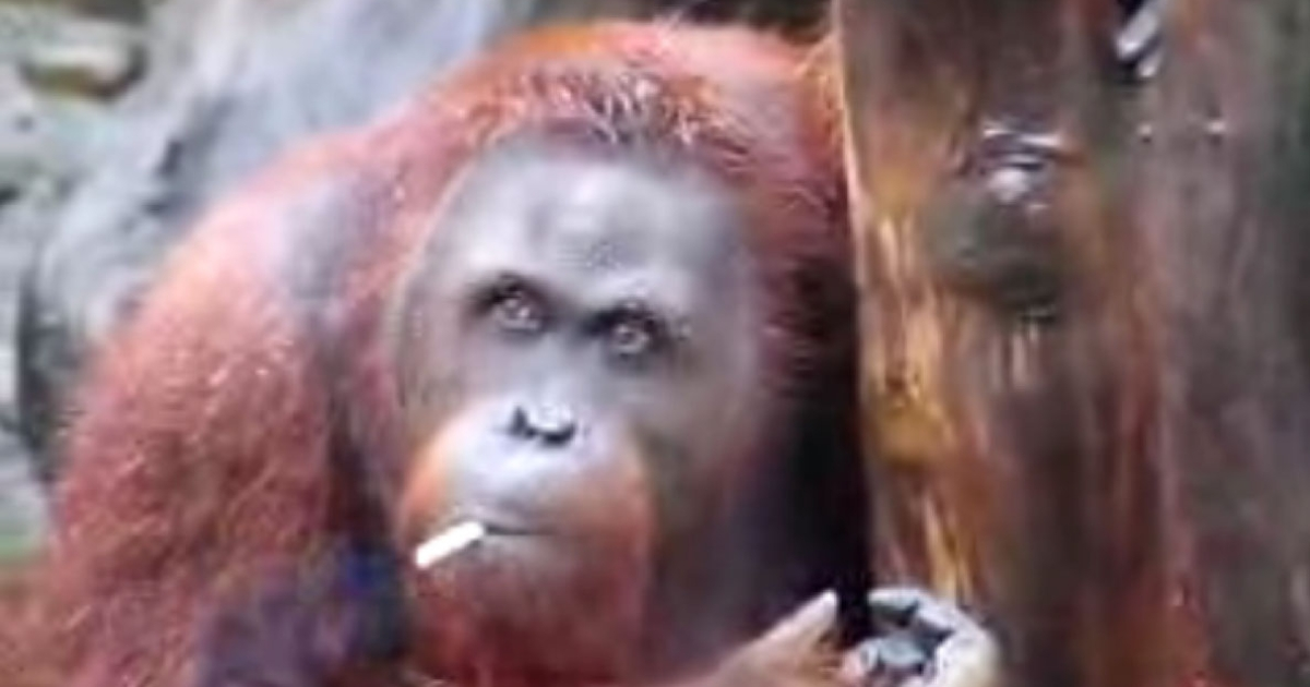 Officials at the Taru Jurug zoo said that they plan to move Tori away from visitors who throw their lit butts into her pen.</p>