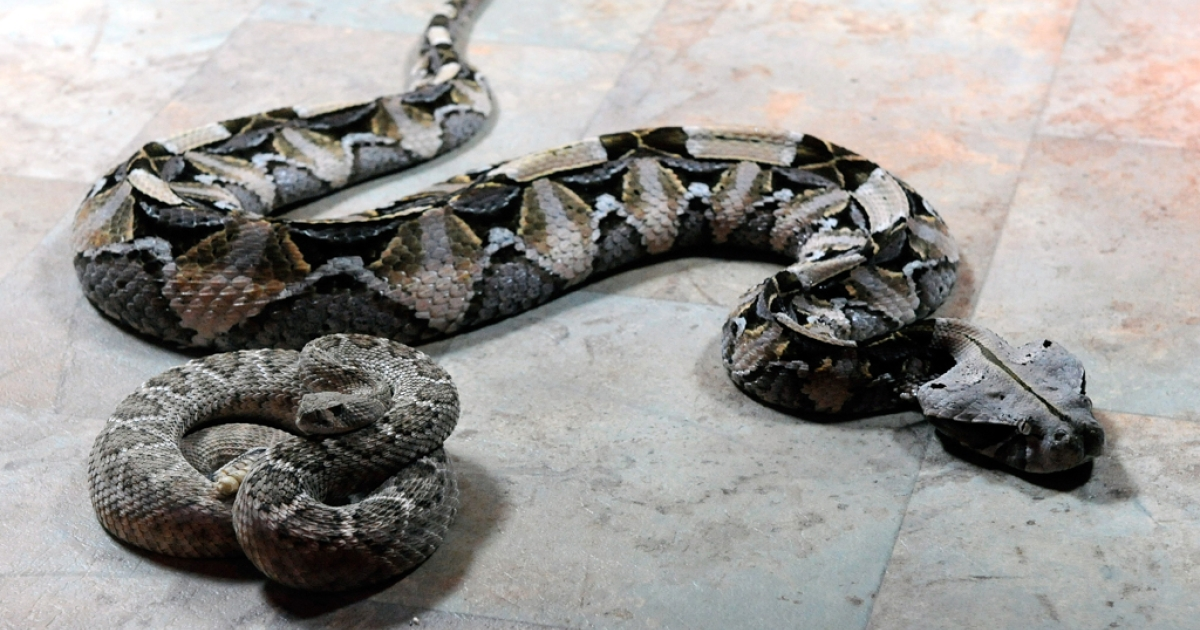 A Brazilian man tried to smuggle 27 snakes worth $10,000 onto a flight departing from Orlando International Airport. He was arrested after security x-ray scanners detected the snakes hiding in his luggage.</p>