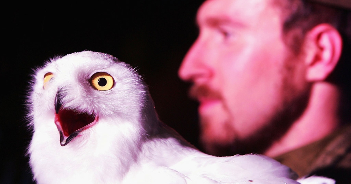 A snow owl sits on an actors hand during the Harry Potter And The Prisoner Of Azkaban launch party. The snowy white birds have been sighted in record numbers across the US this winter.</p>