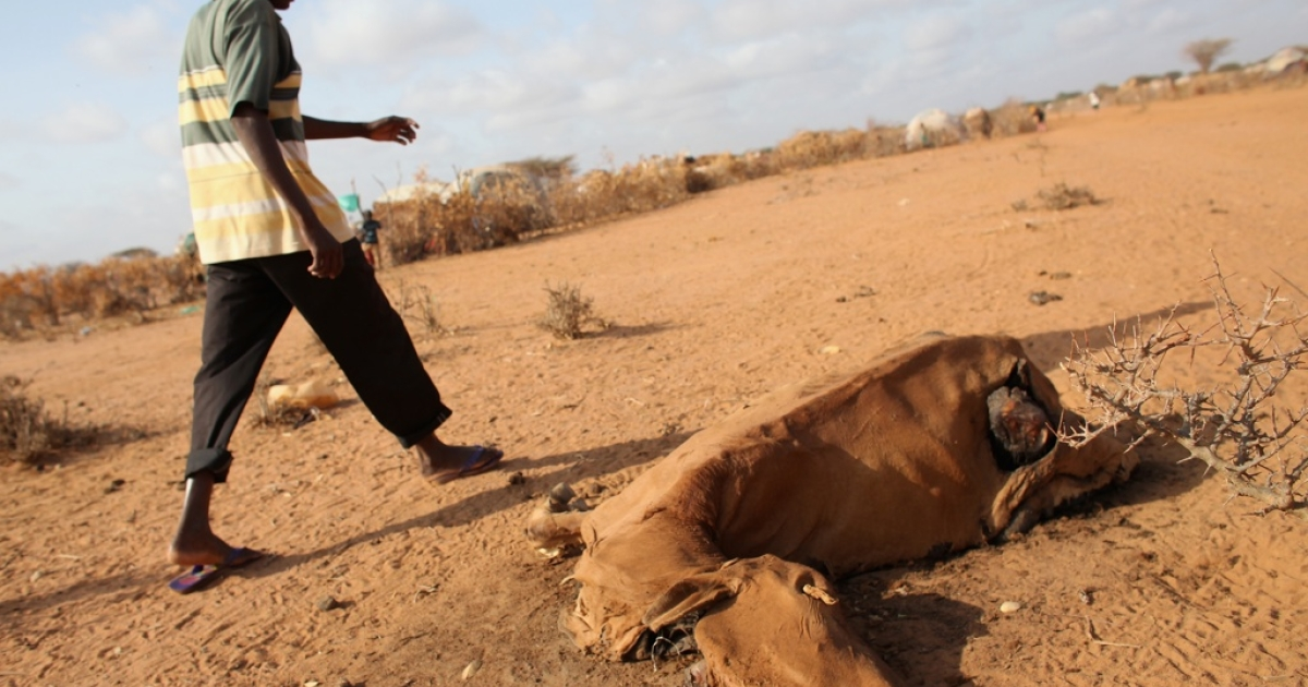 A refugee walks past a cow which died from starvation at the edge of the Ifo refugee camp which makes up part of the giant Dadaab refugee settlement on July 22, 2011.</p>