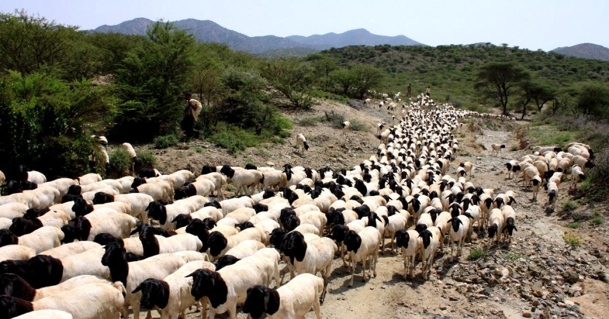 A Somali pastoralist herds distinctive black-headed sheep close to the Ethiopian border.</p>