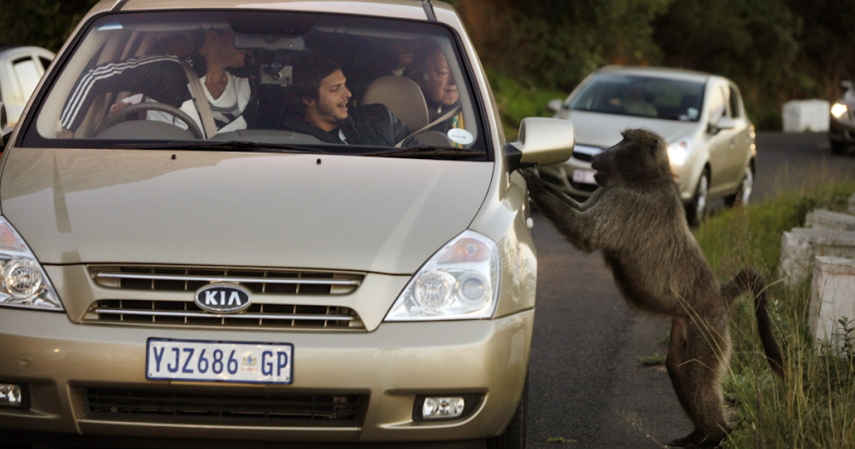 A male baboon jumps up on a car in Cape Town, South Africa as tourists react after they fed him an orange. Urbanization is believed to be the main reason for the loss of the natural baboon habitat and increasing conflict between baboons and humans. Baboons are seen as a menace while they forage for food in an urban environment breaking into restaurants, garbage cans, where ever food is visible.</p>