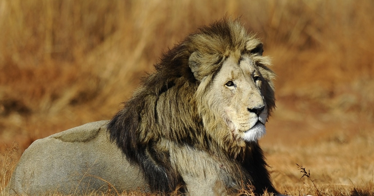 A lion is pictured at the private Rhino and Lion Nature Reserve on July 21, 2010, in Krugersdorp, north of Johannesburg, South Africa.</p>