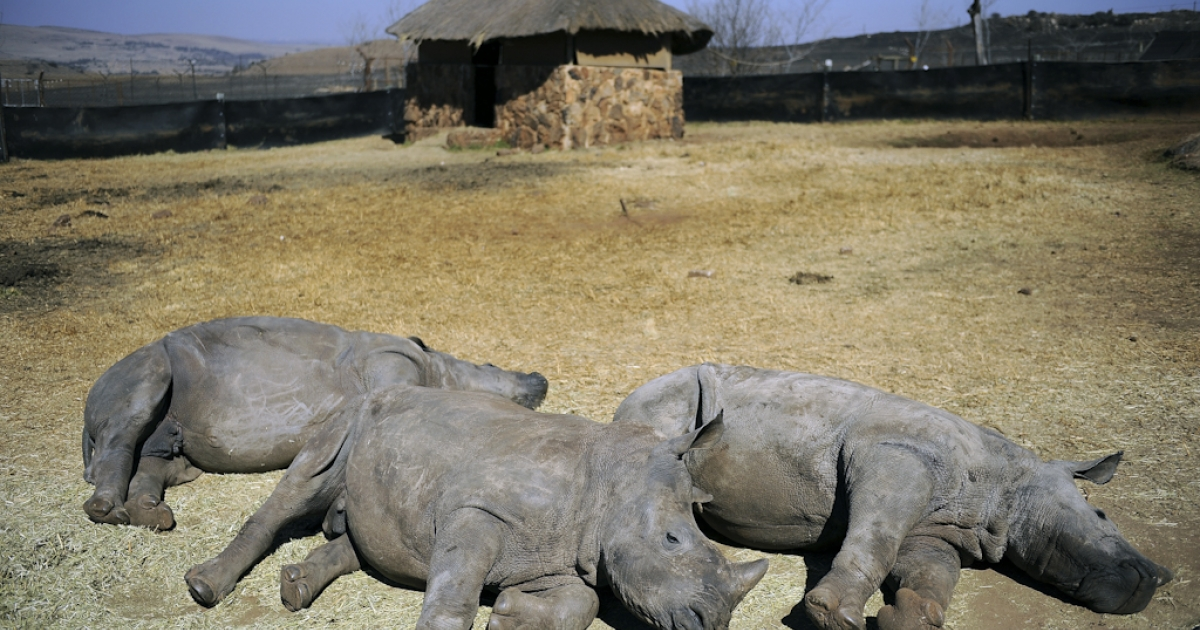 A nine-month-old rhinoceros called Vuma (C) rests with two others rhinoceros at the animal orphanage of the private Rhino and Lion Nature Reserve on July 21, 2010 in Krugersdorp, north of Johannesburg. The animal orphanage recently welcomed Vuma, who was orphaned after poachers hacked out his mother's horn and left her dead.</p>