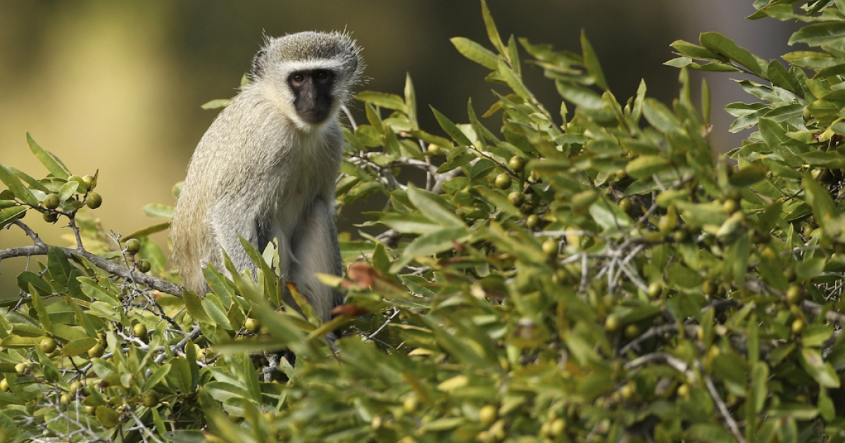 A vervet monkey sits in a tree on July 19, 2010 in the Edeni Game Reserve, South Africa. Edeni is a 21,000-acre wilderness area with an abundance of game and bird life located near Kruger National Park in South Africa.</p>