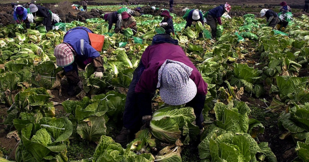 South Korean women harvest cabbage to make the famous dish 'Kimchi.'</p>