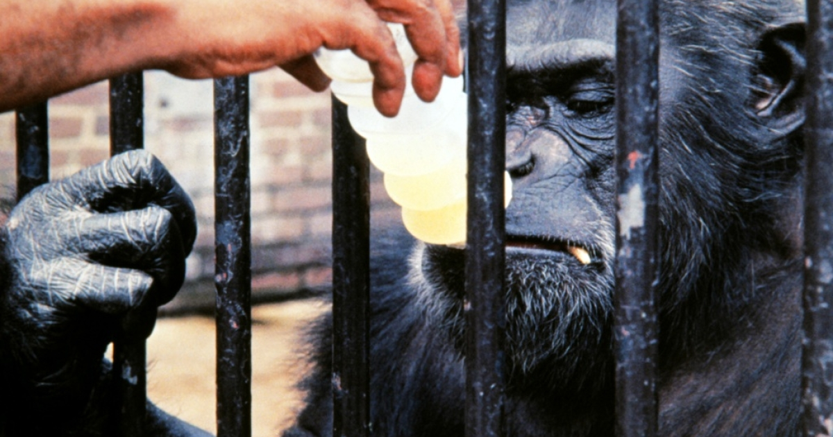 On Oct. 1 1973, Chimpanzee Ham sampled a Skylab space drink at the National Zoo in Washington, DC, where he'd been living since 1963.</p>