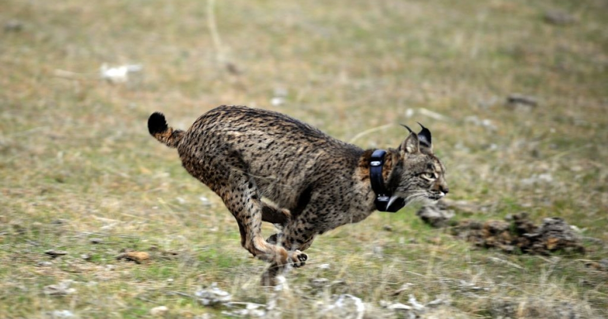 An Iberian lynx is released into the wild in Spain during the first experimental reintroduction of two Iberian lynxes back in Dec. 14, 2009.  At the start of the 20th century there were 100,000 of the animals in Spain and Portugal, but that dropped to as little as 110.</p>