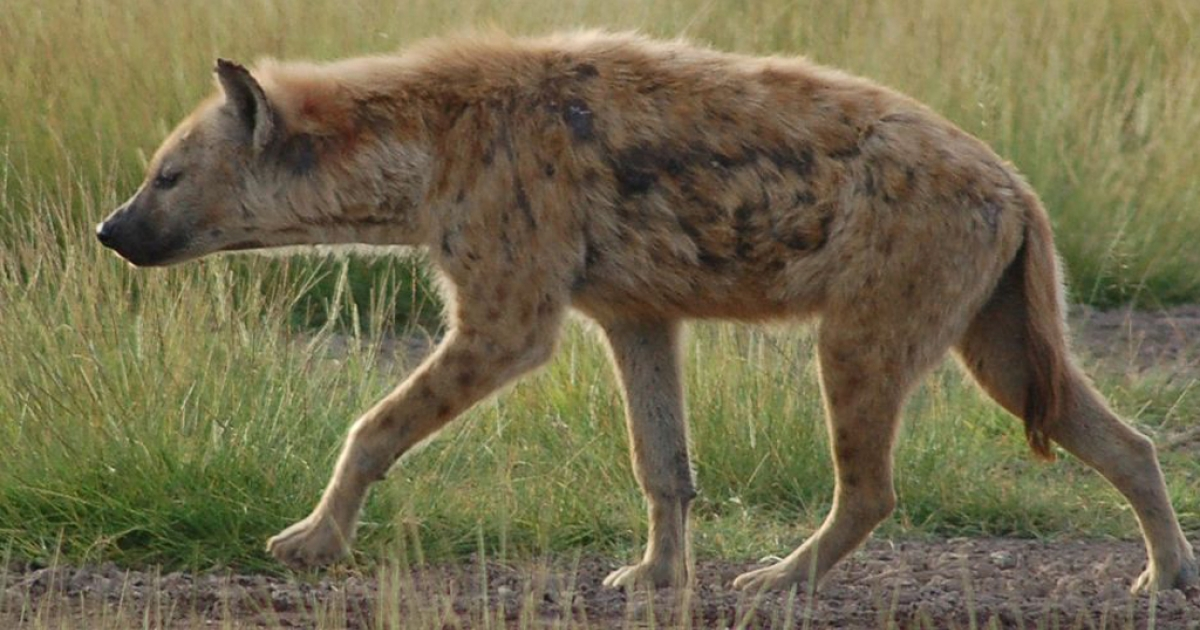 The Spotted Hyena is one of the most highly adaptable animals in the wild and is capable of consuming nearly everything.</p>