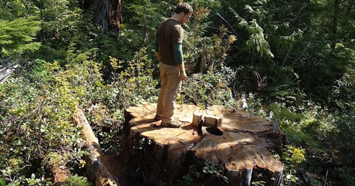 Torrance Coste of the Wilderness Committee stands on a massive red cedar stump in Carmanah Walbran Provincial Park in British Columbia, Canada.</p>