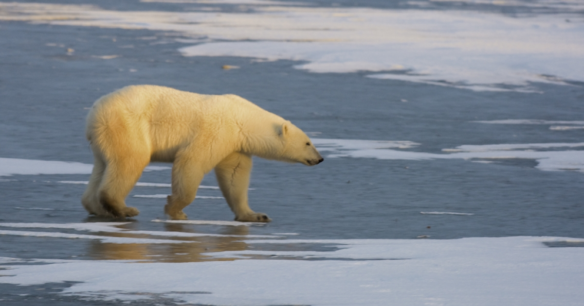 A polar bear walks on the frozen tundra on the edge of Hudson Bay outside Churchill, Manitoba, Canada. Polar bears return every year to Churchill, the polar bear capital of the world, where they remain hunting for seals on the icepack until the spring thaw.</p>