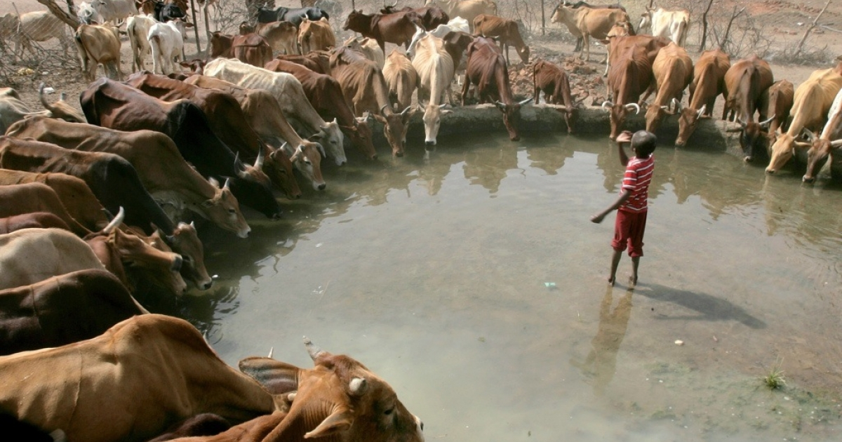 Cows drink from a pond of water in the town of Kadugli in the Sudanese oil-producing state of South Kordofan on May 3, 2011. There is increasing violence by the Sudan Armed Forces in South Kordofan Province, according to eyewitnesses, and a buildup of Sudan Armed Forces, according to images provided by the Satellite Sentinel Project.</p>