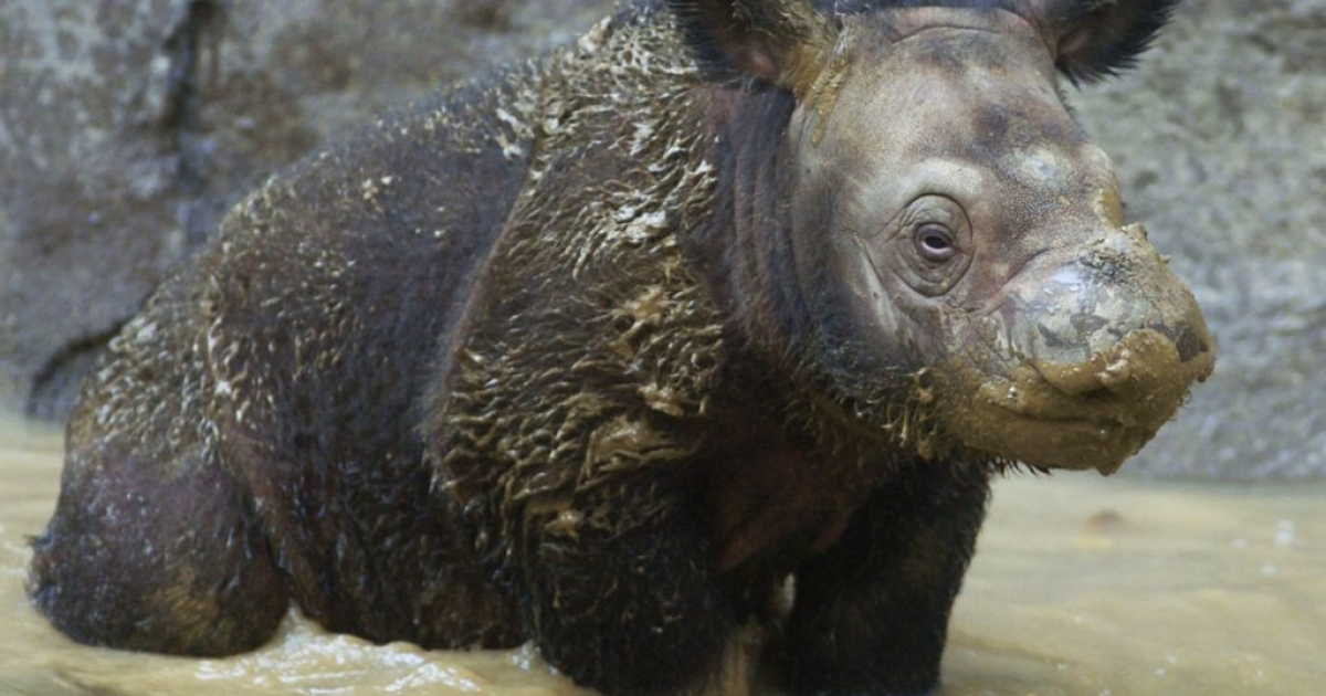A three-week-old Sumatran rhinoceros at Cincinnati Zoo in 2004. Another calf was born in Indonesia today, only the fifth birth in captivity ever recorded.</p>