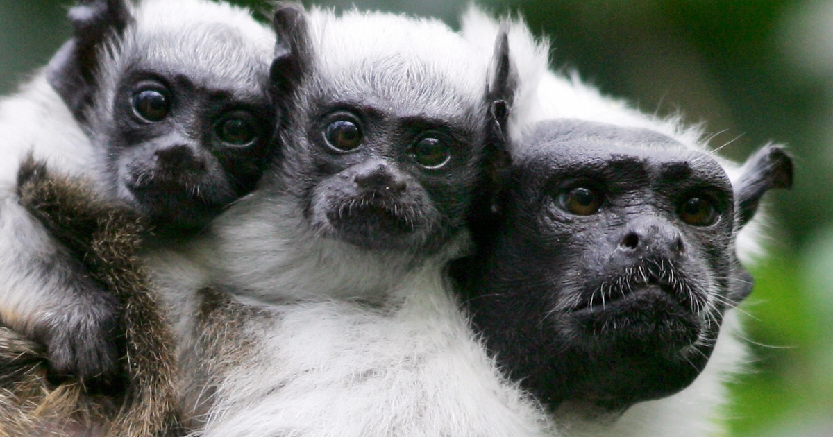 Tamarin monkeys, like those seen here, will likely be the first to be negatively affected by climate change.</p>