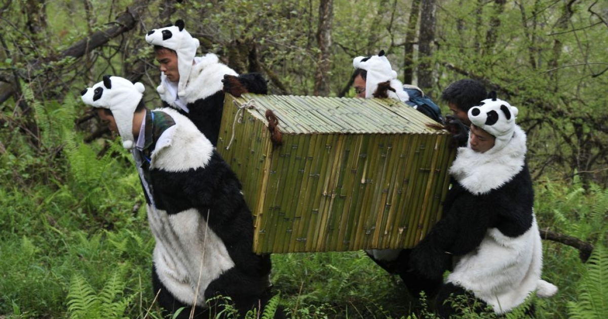 These are not pandas. They're keepers wearing panda suits to try and prevent captive pandas getting used to the sight of humans.</p>