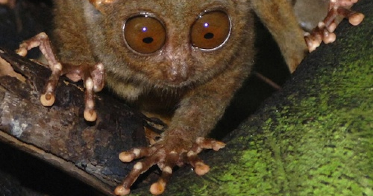 BOHOL, PHILIPPINES: A tarsier munches on a cricket in a widlife sanctuary in the central Philippine island of Bohol 20 January 2006.</p>