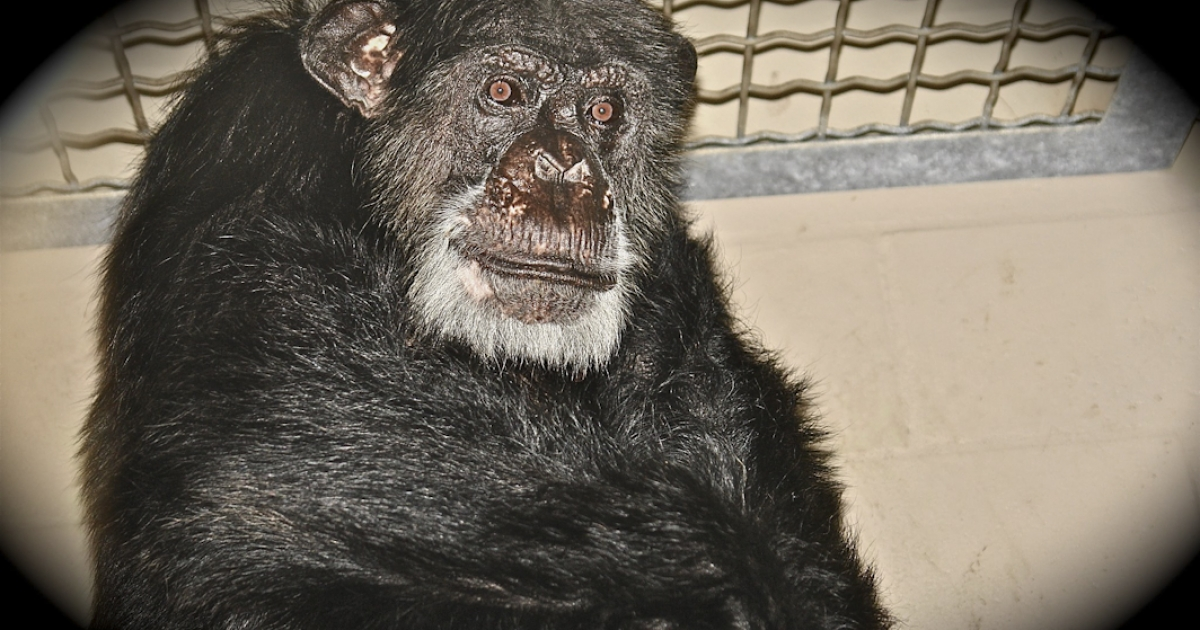 Cheetah, the chimp who stared in Tarzan films, died at Suncoast Primate Sanctuary in Palm Harbor, Florida. He died aged 80 after kidney failure, the sanctuary said.</p>
