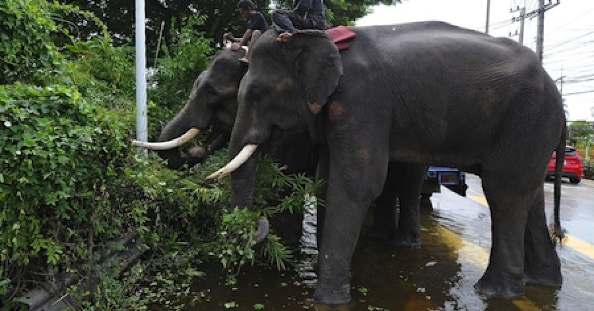 Elephants stand in low-lying floodwater as they eat grass on the side of a street in the ancient Thai capital of Ayutthaya on October 12, 2011.</p>