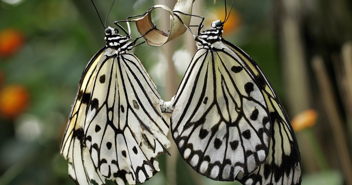 Two White Tree Nymph butterflies hold a branch 03 April 2007 at the Papiliorama, Swiss tropical gardens, in Kerzers. The White Tree Nymph prefers coastal mangrove swamps and are common to Thailand.</p>