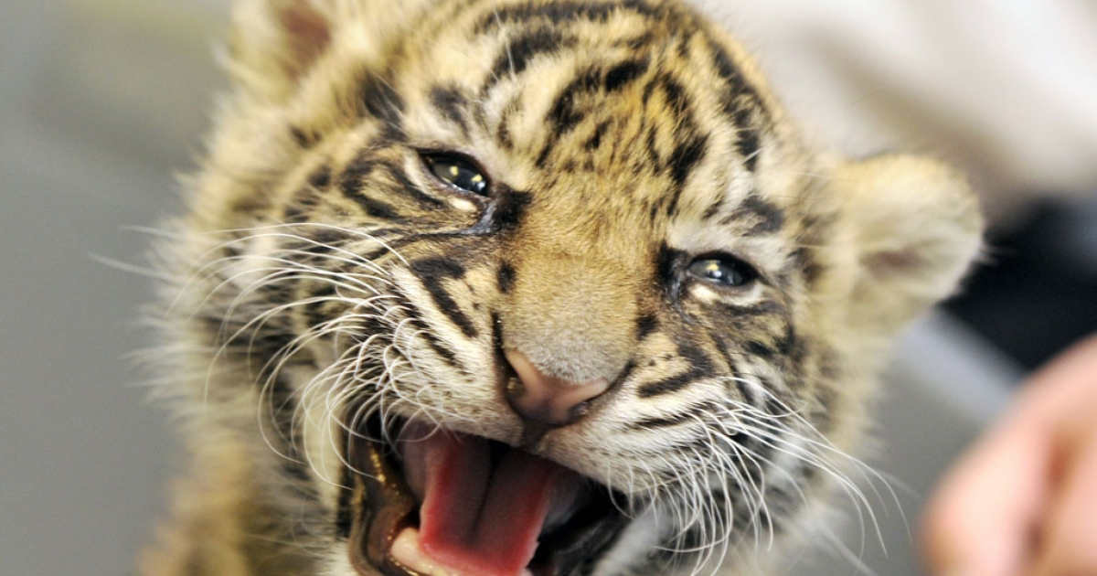 A baby tiger named Daseepis growls at the Frankfurt Zoo on October 6, 2010.</p>
