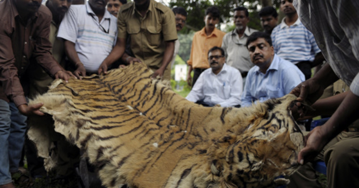 Indian forest officials display a seized bengal tiger skin in Kolkata on November 16, 2010. The skin was seized by a team of Sunderbans Tiger Reserve (STR) officials from a local market in the outskirts of Kolkata, while three people were arrested.</p>
