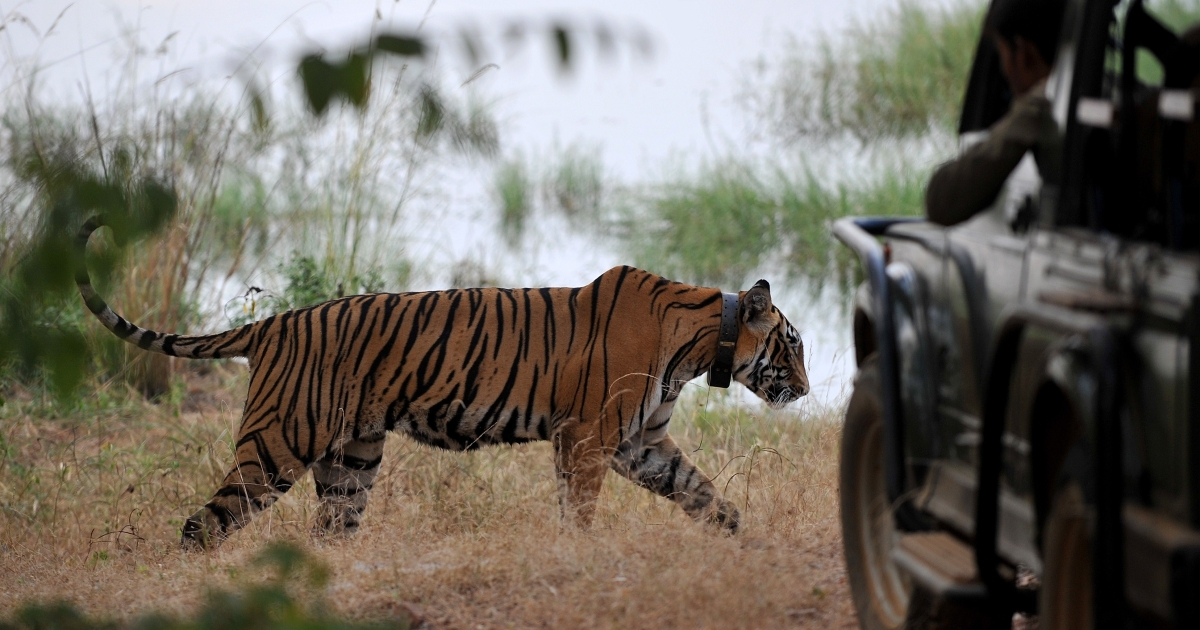 Lawmakers in western India are waging a war against tiger poachers, making it legal to shoot animal hunters on site.</p>