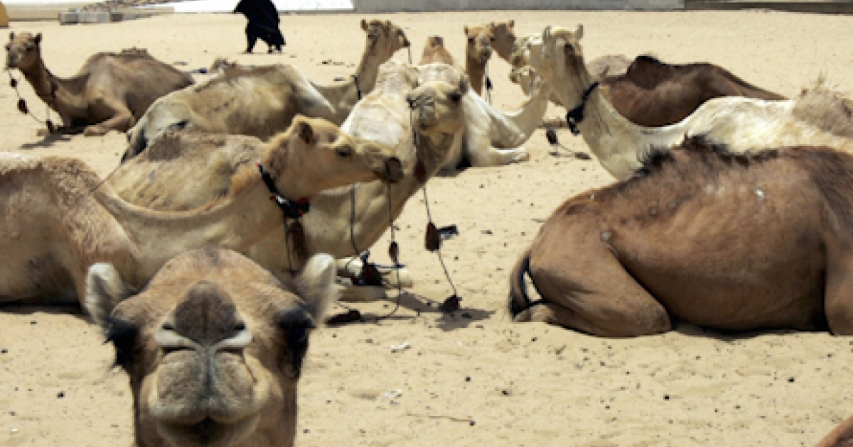 Dromedaries hang in a street of the northwestern Malian city of Timbuktu on April 11, 2006. The fabled desert city of Timbuktu fire the imagination of every adventurer, but an outbreak of fierce fighting in the region has raised fears tourists may snub the African treasure.</p>