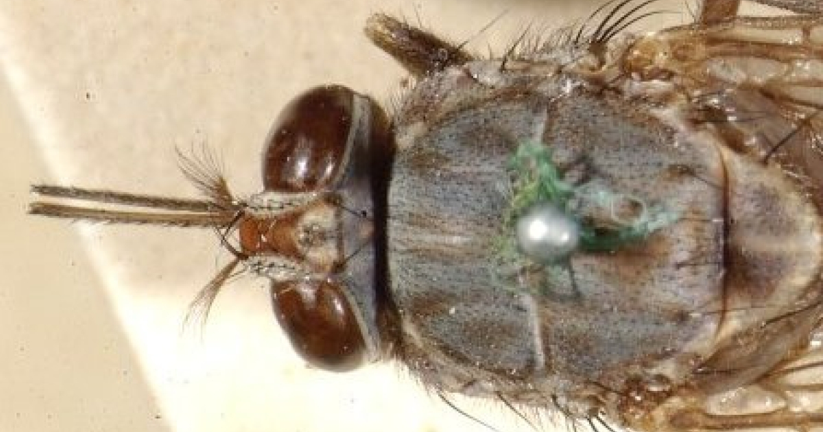 The tsetse fly transmits sleeping sickness to humans and animals in Sub-Saharan Africa.  Scientists say they may have found a way to use bacteria, naturally found on the fly to help fight the disease.</p>