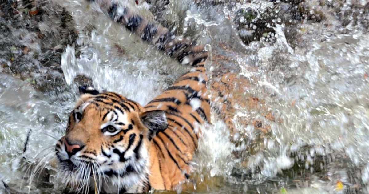 A Royal Bengal tiger splashes into a pond at the Nehru Zoological Park in Hyderabad on April 23, 2010.</p>