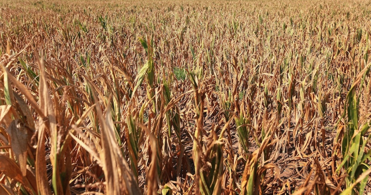 Corn plants struggle to survive in a drought-stricken farm field on July 18, 2012 near Vincennes, Indiana. The corn and soybean belt in the middle of the nation is experiencing one of the worst droughts in more than five decades. Indiana was the nation's fourth largest corn producer in 2011.</p>
