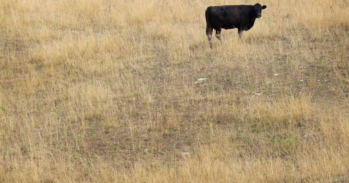 A cow feeds in a drought-damaged pasture as temperatures climb near 100 degrees in Indiana.</p>