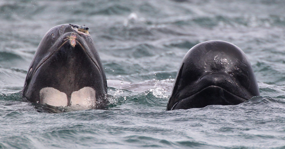 Two of a pod of up to 70 pilot whales emerge from the water of Loch Carron on May 21, 2011 in South Uist, Scotland.</p>