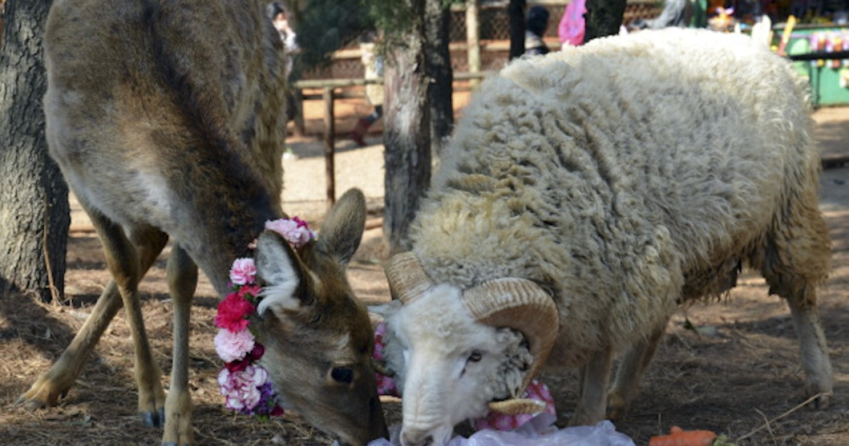 This photo taken on February 11, 2012 shows a ram named Changmao (R), who has formed an inseparable bond with a female deer named Chunzi (L), sharing a meal together at the Yunnan Wild Animal Park in Kunming, southwest China's Yunnan province. Staff at the wildlife park turned to the country's half-a-billion Internet users for advice after Changmao and Chunzi began mating, and now a wedding has been planned on Valentine's Day for the couple.</p>
